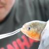 アマゾンの凶暴魚を釣っちゃいます! 危険すぎる「ピラニア釣り」やってみた