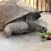ゾウガメに七草をプレゼント